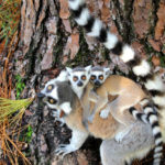 Ring-tailed lemur Ansell with twin offspring Moose and Duffy on her back