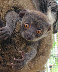 bringing lemurs back from the brink