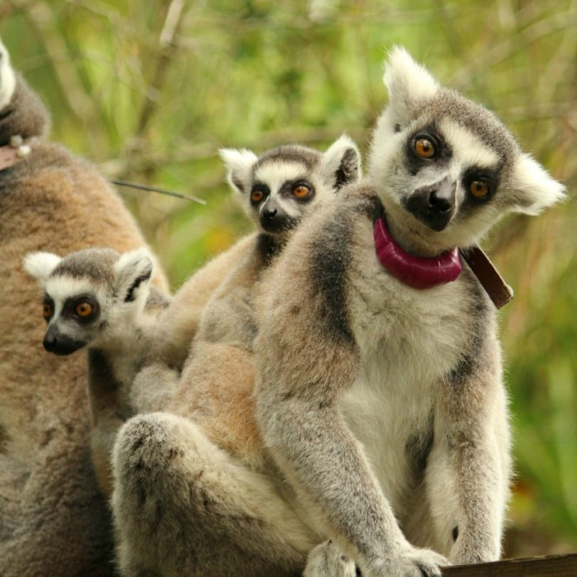 Ring-tailed lemur with babies sitting on branch