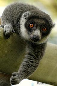 mongoose lemur Christina