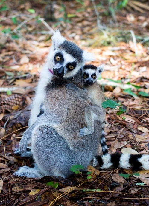 Ring-tailed lemur mama and baby