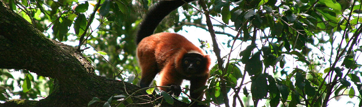 Red ruffed lemur in tree