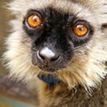 Sanford's brown lemur Ikoto
