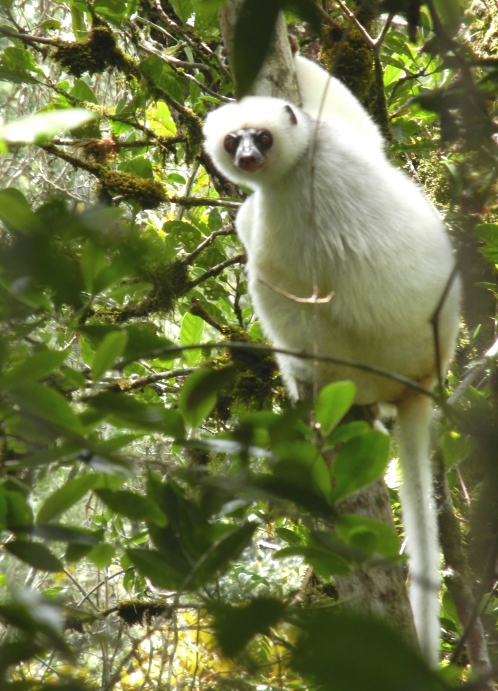 A silky sifaka on a tree in Anjanaharibe-Sud Special Reserve