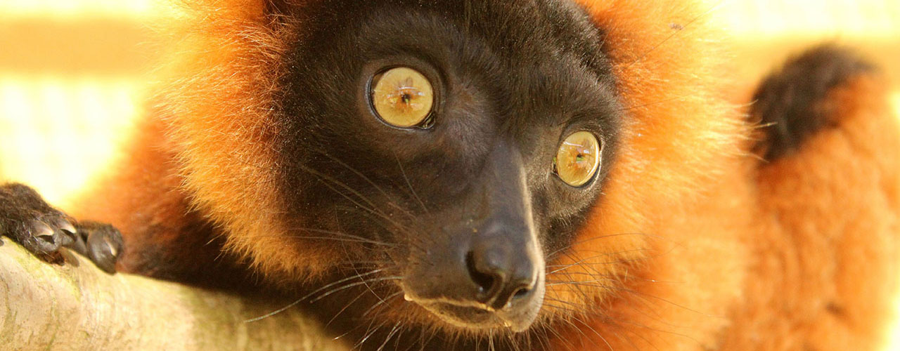 Red ruffed lemur Tsikey