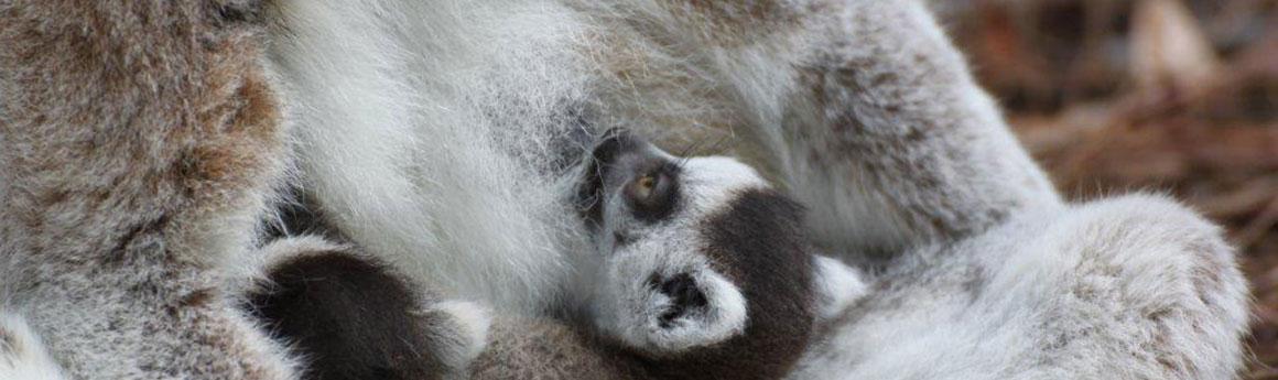 Ring tailed lemur infants nursing