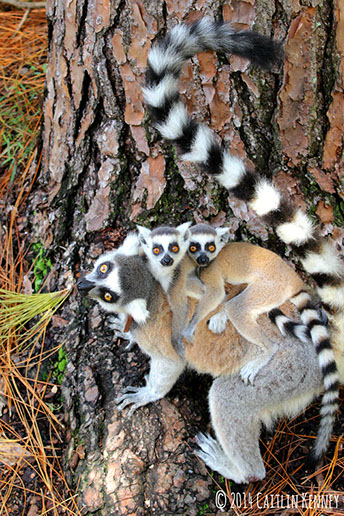 Ring-tailed lemur Ansell with twin infants on back