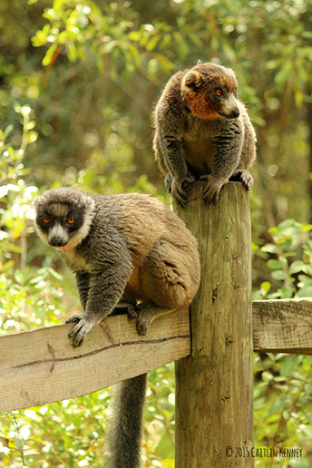 Mongoose lemurs Christina and Lucas in forest