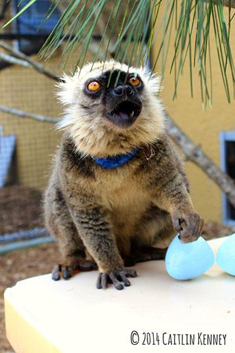 Sanford's brown lemur Ikoto eats a grape
