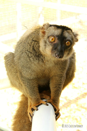 common brown lemur Muga looks at camera