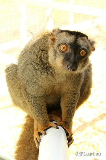 common brown lemur Muga looks at camera