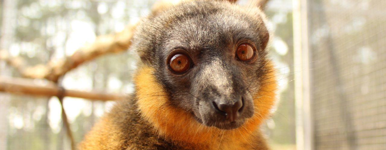 Collared lemur Wizard