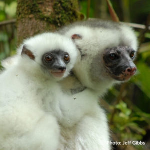 Silky sifakas photographed by Jeff Gibbs