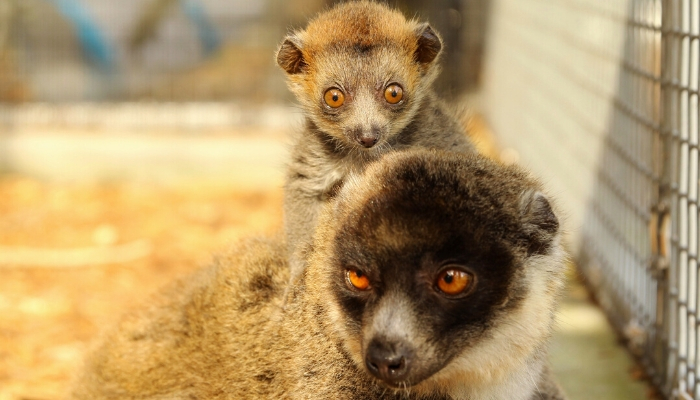 Our second mongoose lemur infant at one month old.