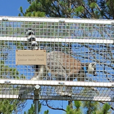 Mackarness Goode Lemur Aerial Trail