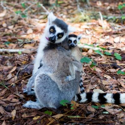 Ring-tailed lemur Foster