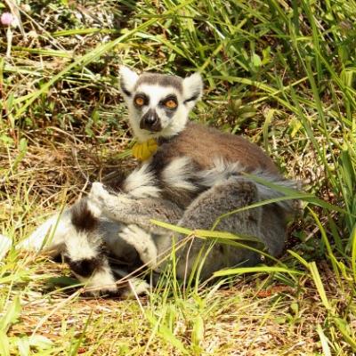 Ring-tailed lemur Yuengling