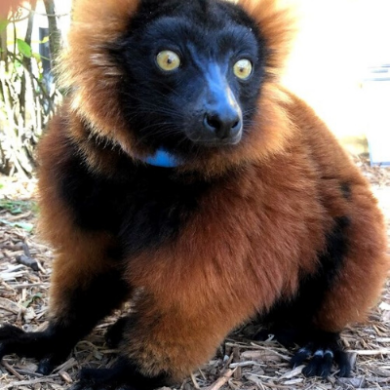 LCF Red ruffed lemur River