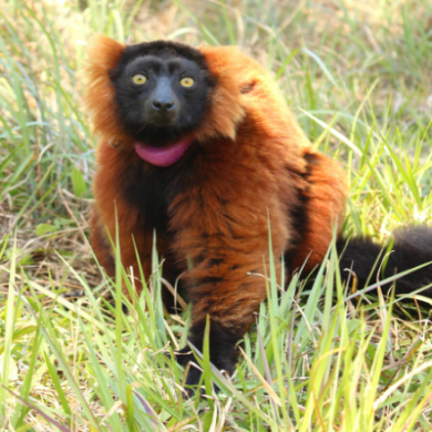 LCF red ruffed lemur Zazabe