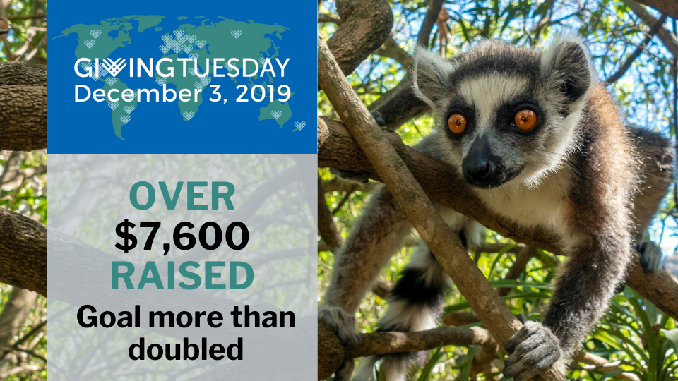 GivingTuesday was a great day for lemurs