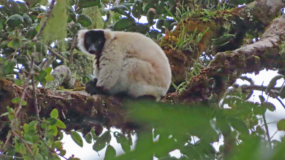 LCF field survey finds rare and unusual lemurs