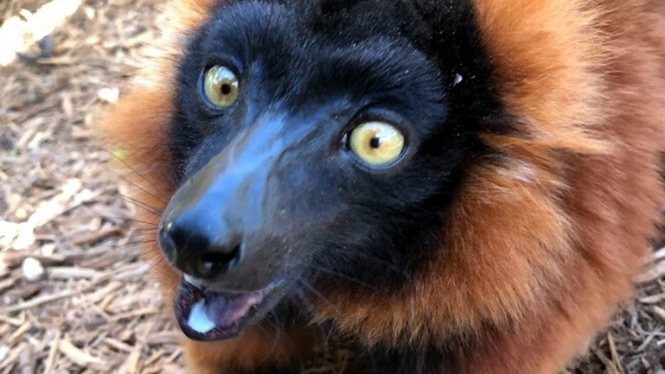 Welcome our new red ruffed lemur