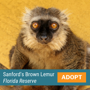Sanford's Brown Lemur