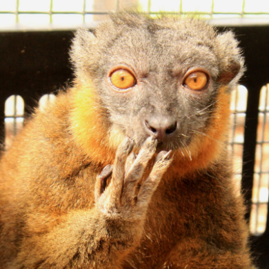 Collared brown lemur Lucy