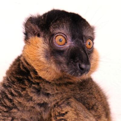 Collared brown lemur Jacques