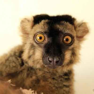 Common brown lemur Merlot