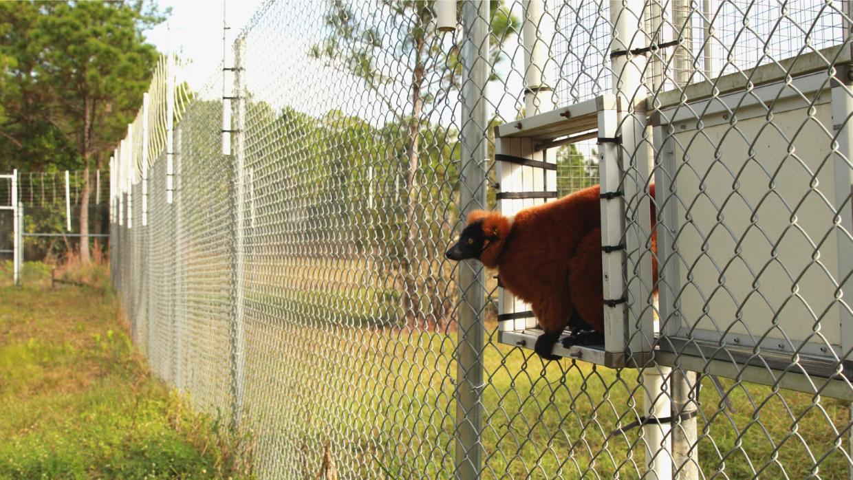 Red ruffed lemur Ranomamy