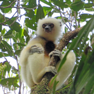 Adult silky sifaka male named LFV, Marojejy National Park