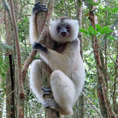 Subadult silky sifaka male named MBV, Marojejy National Park