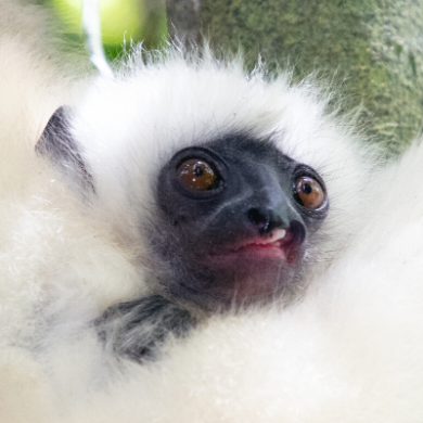 Silky sifaka infant, Marojejy National Park