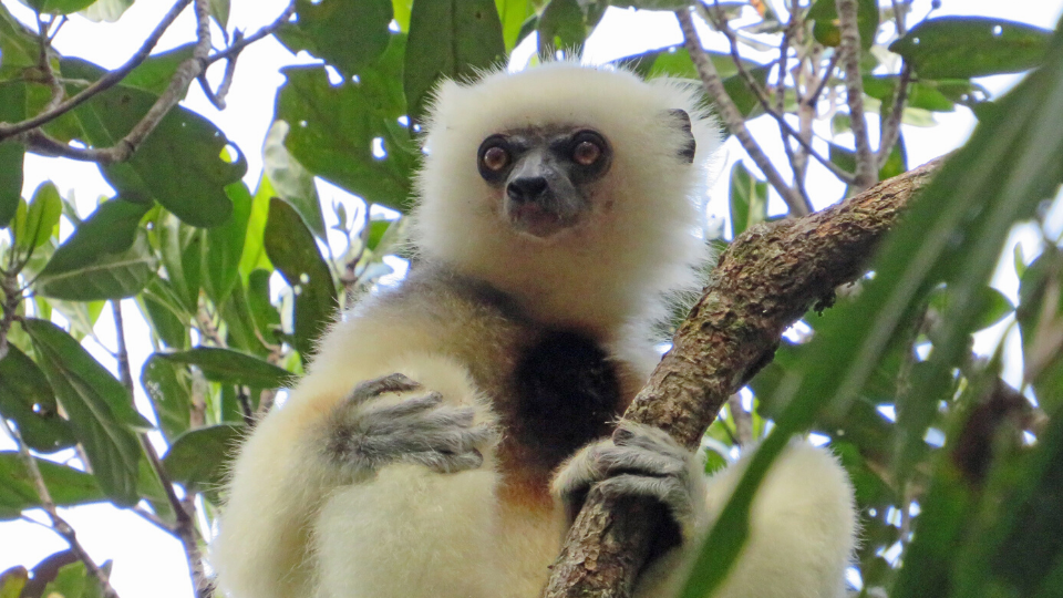 Silky sifaka monitoring at Marojejy National Park