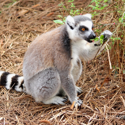 An LCF ring-tailed lemur eating a native plant in one of the reserve's forest habitats