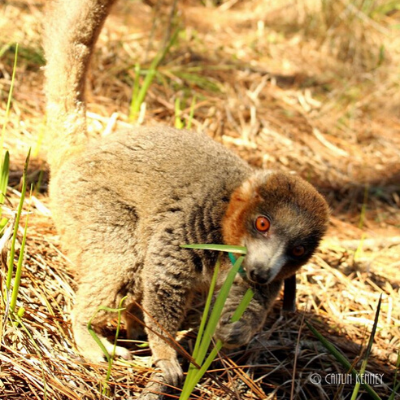 An LCF lemur eating a native plant in one of the reserve's forest habitats