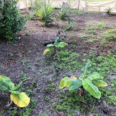Lemur food grown as part of LCF's sustainable gardening