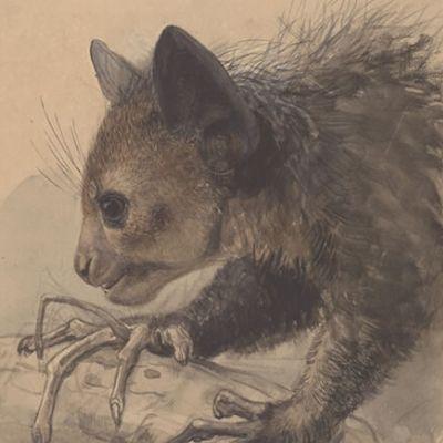 Sketch of an aye-aye