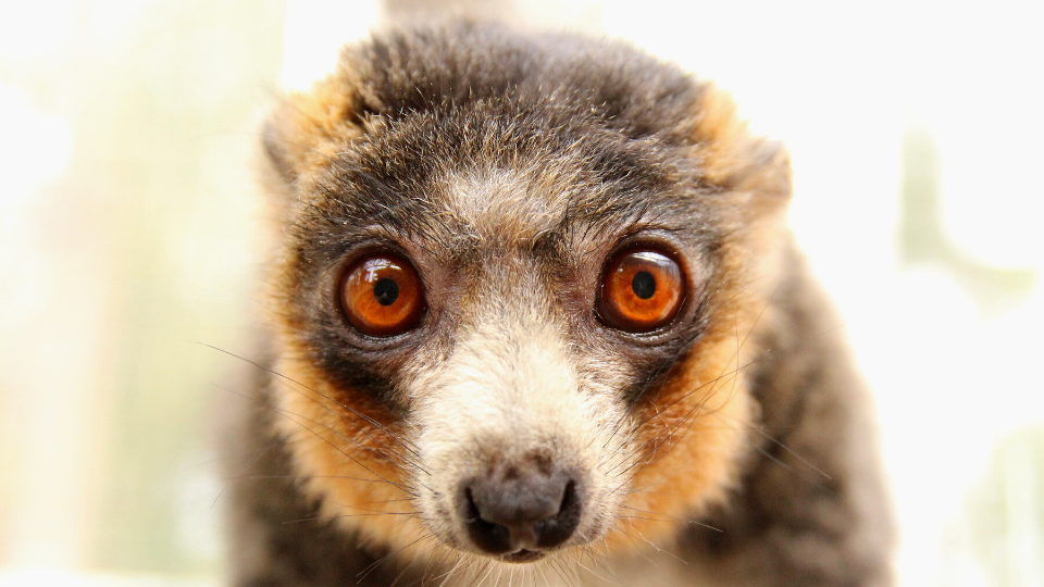 Meet mongoose lemur Guillermo