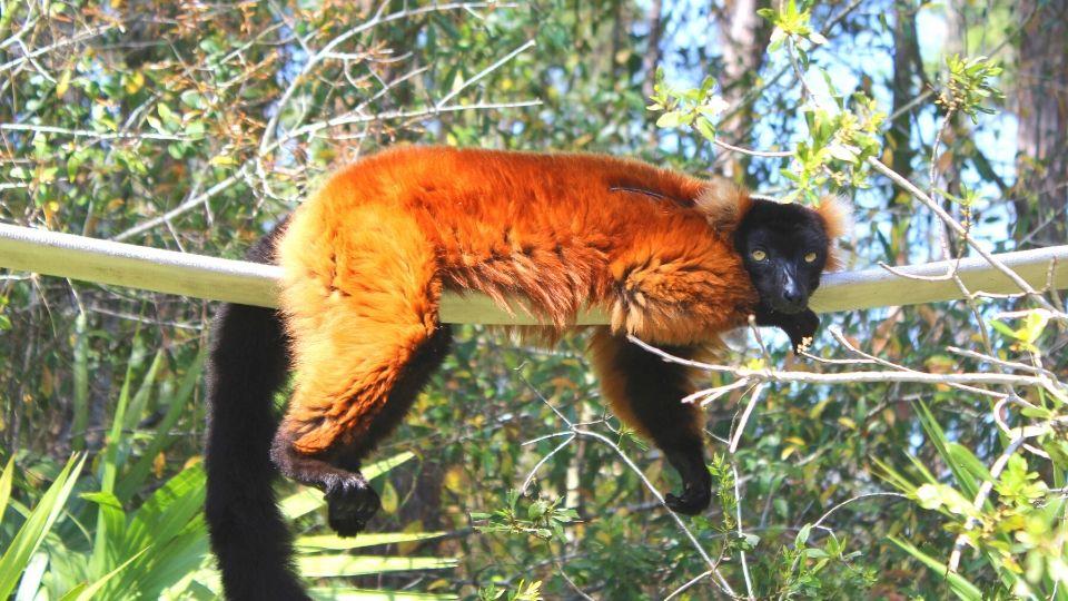 Meet red ruffed lemur Volana