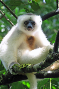 Silky sifaka photographed by Dr. Erik Patel