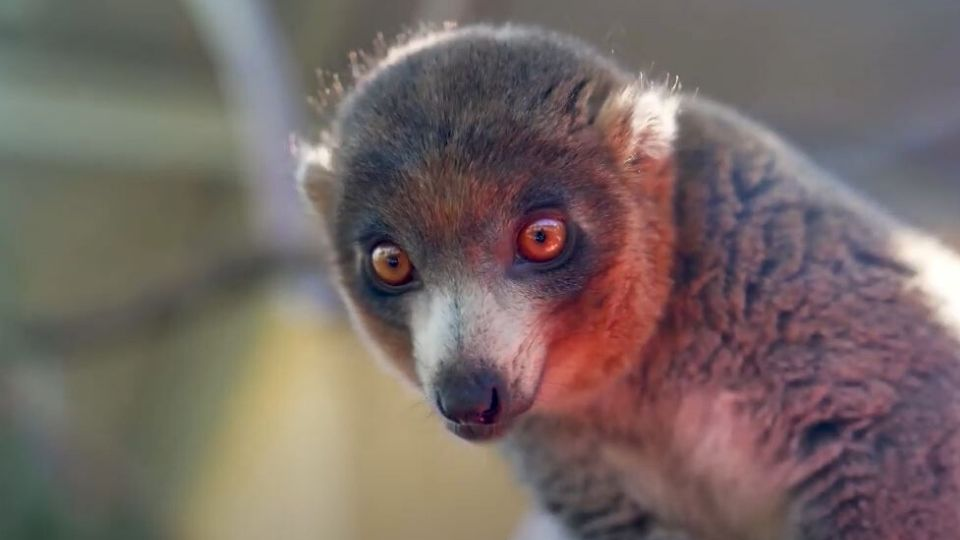Make a world of difference for endangered lemurs