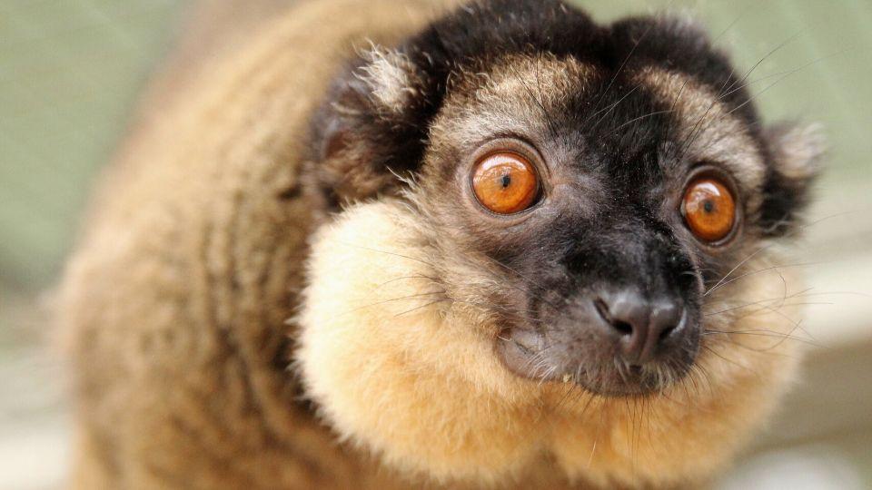 Meet collared brown lemur Olivier