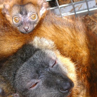 LCF collared brown Lemur Claire and infant Olivier