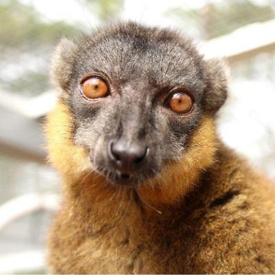 LCF Collared Brown Lemur Wizard