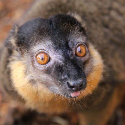 LCF Collared Brown Lemur Antoine