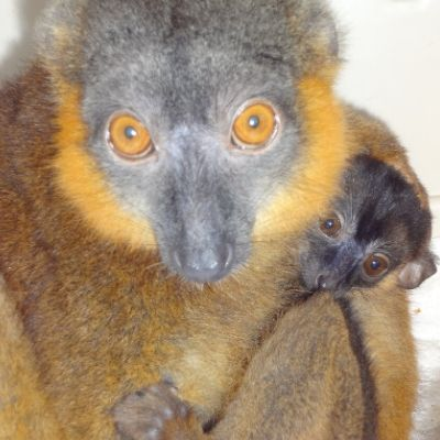 LCF Collared Brown Lemur Claire and Infant Remy