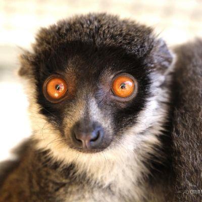 LCF mongoose lemur Julieta