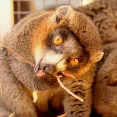 LCF mongoose lemur Javier